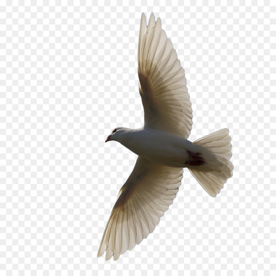 Descarga gratuita de Pájaro, Vuelo, Paloma Nacional imágenes PNG