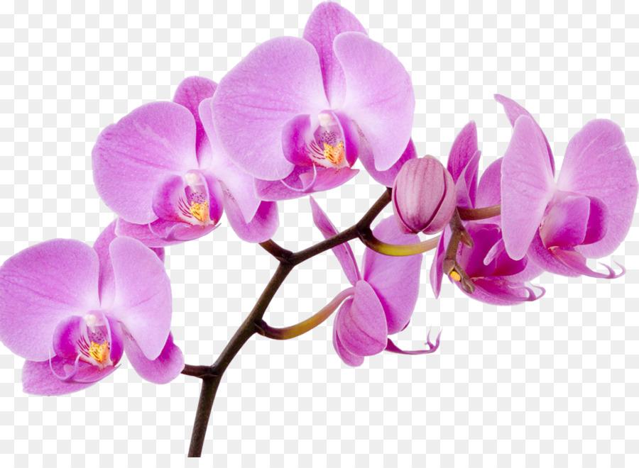 Descarga gratuita de Las Orquídeas, Flor, La Polilla De Las Orquídeas Imágen de Png