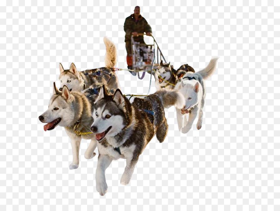 Descarga gratuita de Husky Siberiano, Trineo De Perros, Trineo imágenes PNG