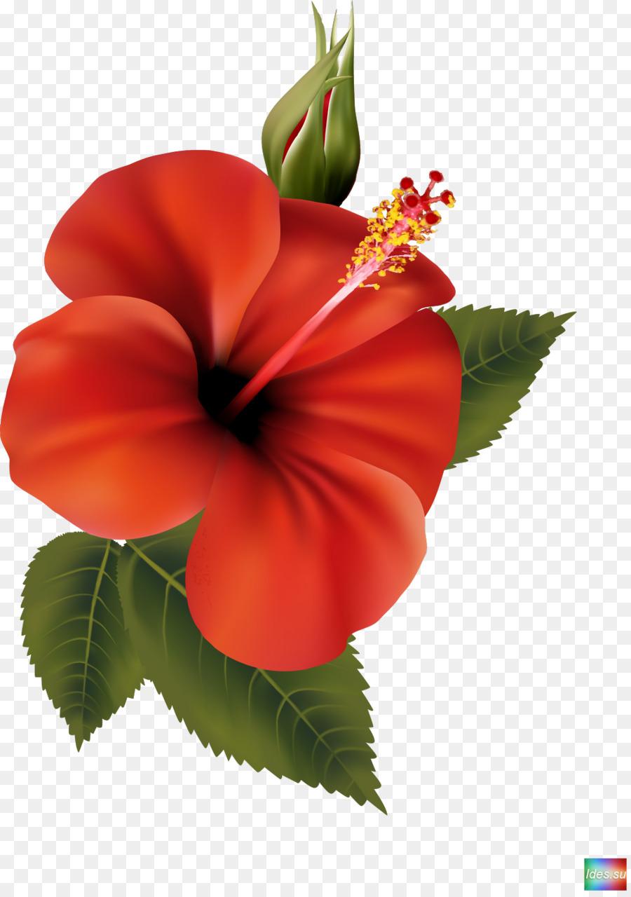 Descarga gratuita de Flor, Shoeblackplant, Mallows Imágen de Png