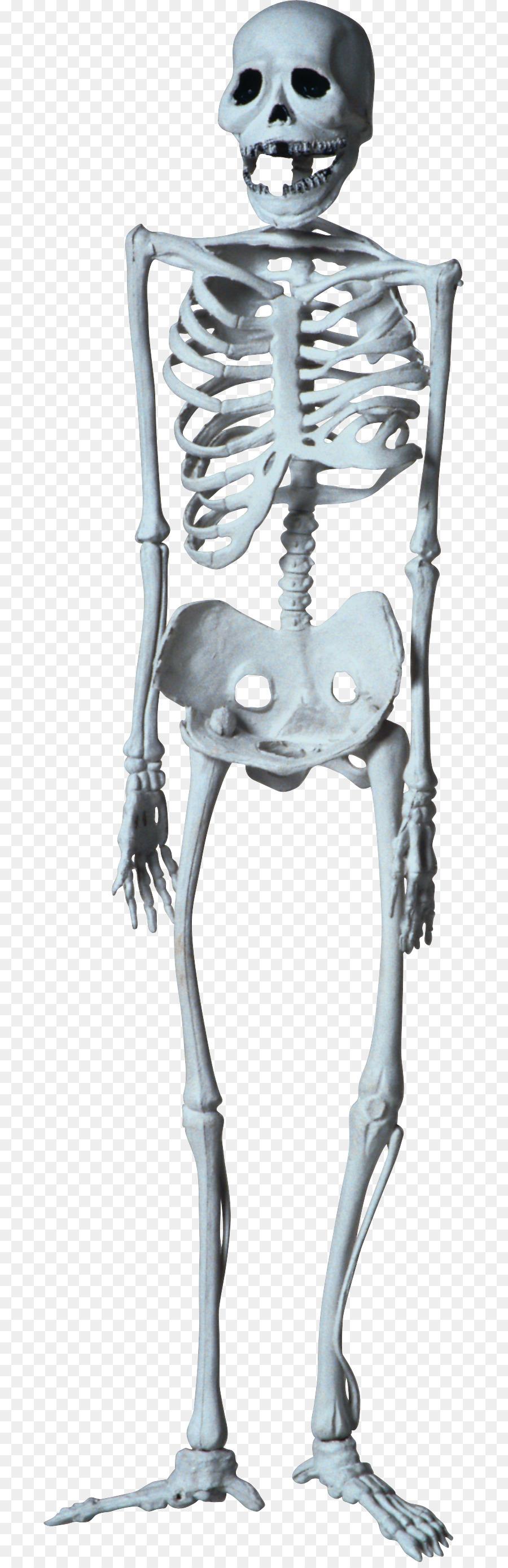 Descarga gratuita de Esqueleto, Hueso, Esqueleto Humano Imágen de Png