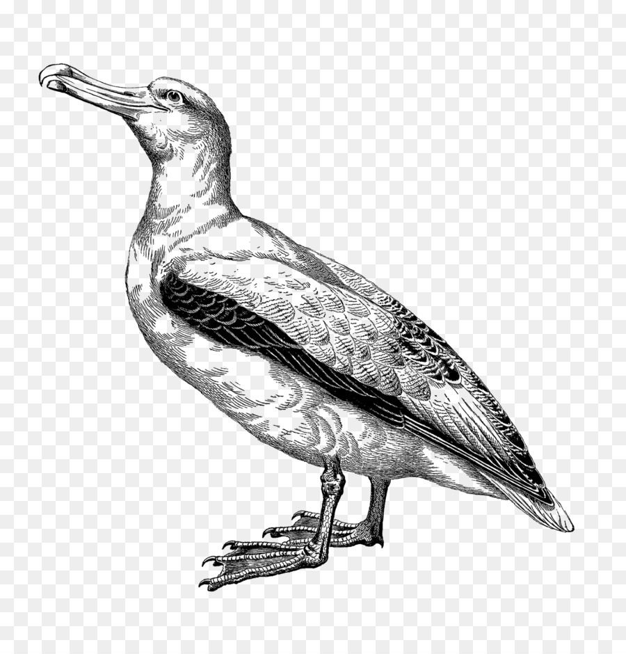 Descarga gratuita de Dibujo, Ilustraciones De Animales, Albatros Imágen de Png