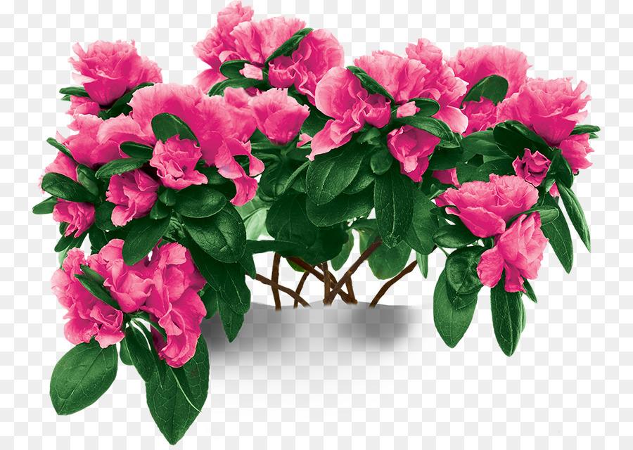 Azalea Planta De Interior Planta Imagen Png Imagen Transparente Descarga Gratuita