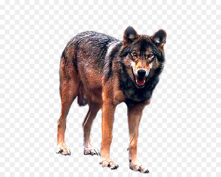 Descarga gratuita de Kunming Lobo, Lobo, Coyote imágenes PNG