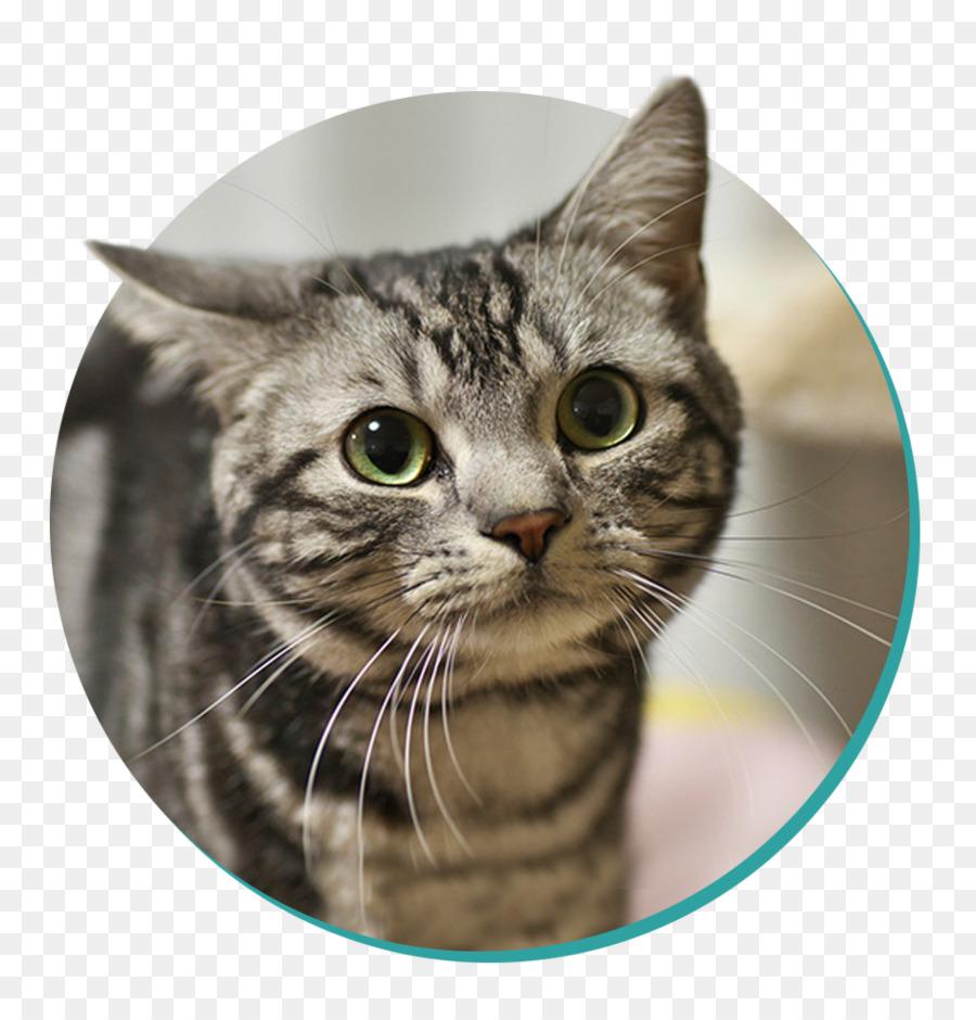 Descarga gratuita de American Shorthair, British Shorthair, Gato Siamés Imágen de Png