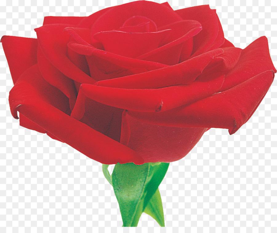 Descarga gratuita de Las Rosas De Jardín, Rosa, Rojo imágenes PNG