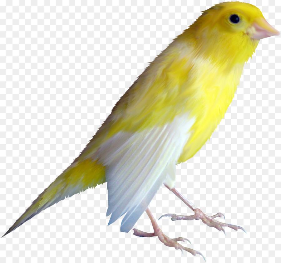 Descarga gratuita de Nacionales De Canarias, Pájaro, Albom Imágen de Png
