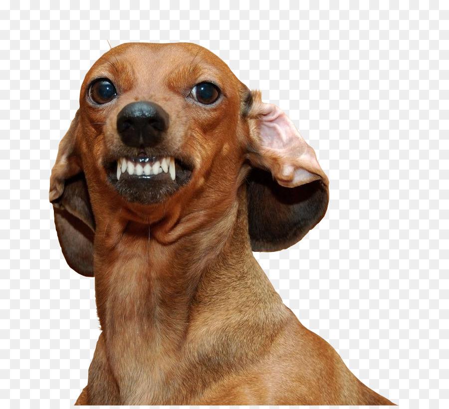 Descarga gratuita de Dachshund, Perro Dálmata, Chihuahua Imágen de Png
