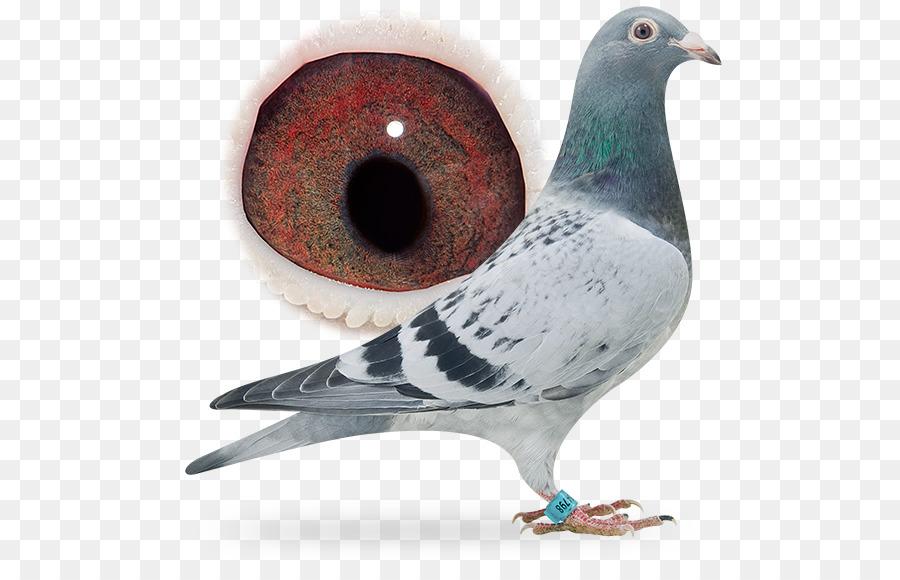 Descarga gratuita de Homing Pigeon, Carreras De Homero, De Lujo De La Paloma Imágen de Png