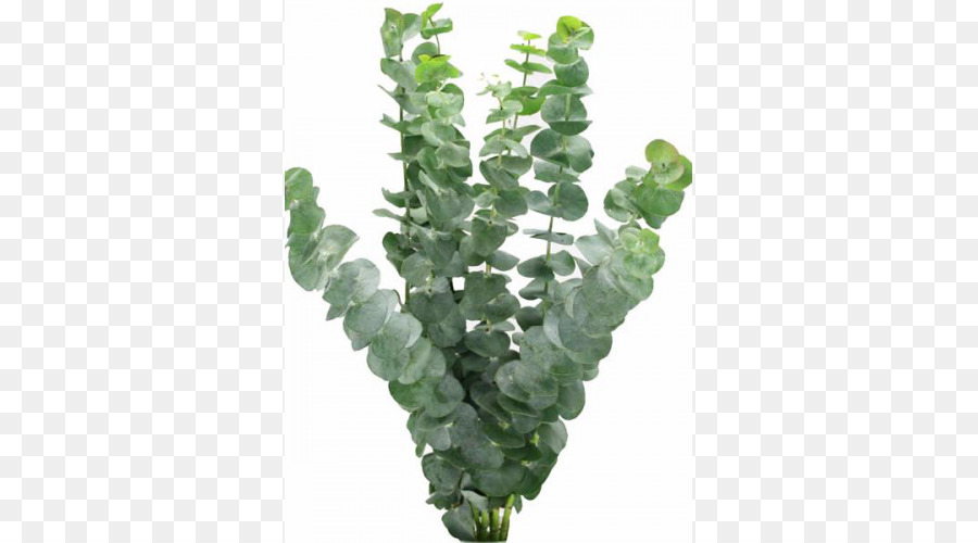 Descarga gratuita de Eucalipto Polyanthemos, Tallo De La Planta, Flor Imágen de Png
