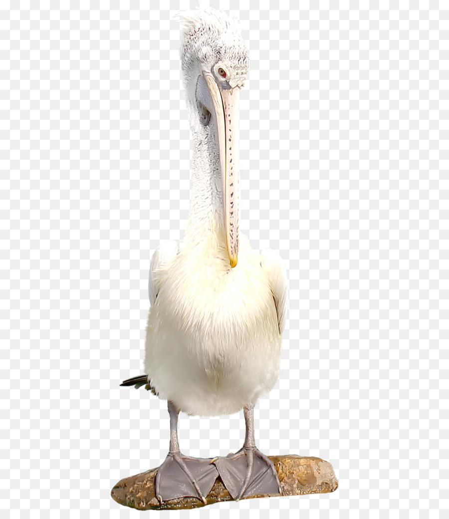 Descarga gratuita de Pájaro, Los Flamencos, Parrot Imágen de Png