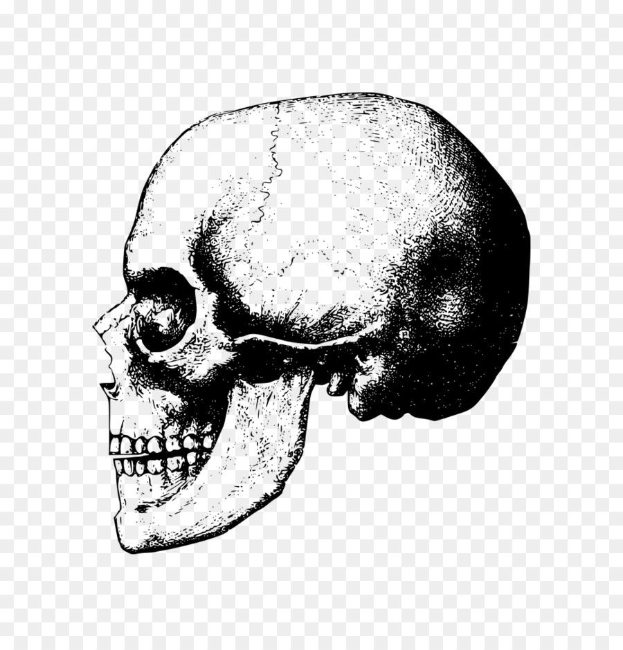 Descarga gratuita de Cráneo, Hueso, Esqueleto Imágen de Png