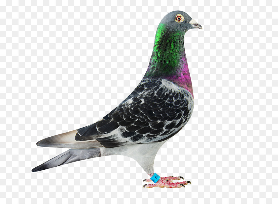 Descarga gratuita de Columbidae, Homing Pigeon, Rock Dove Imágen de Png