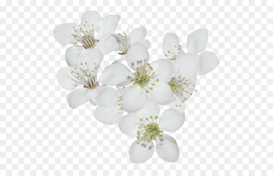 Descarga gratuita de Flor, De Los Cerezos En Flor, Cerasus Imágen de Png