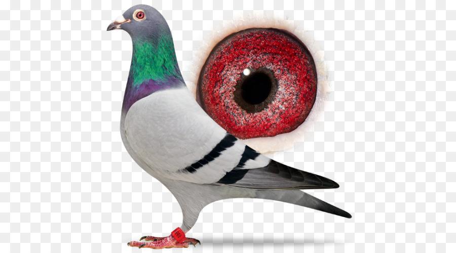 Descarga gratuita de Columbidae, Carreras De Homero, Pájaro Imágen de Png