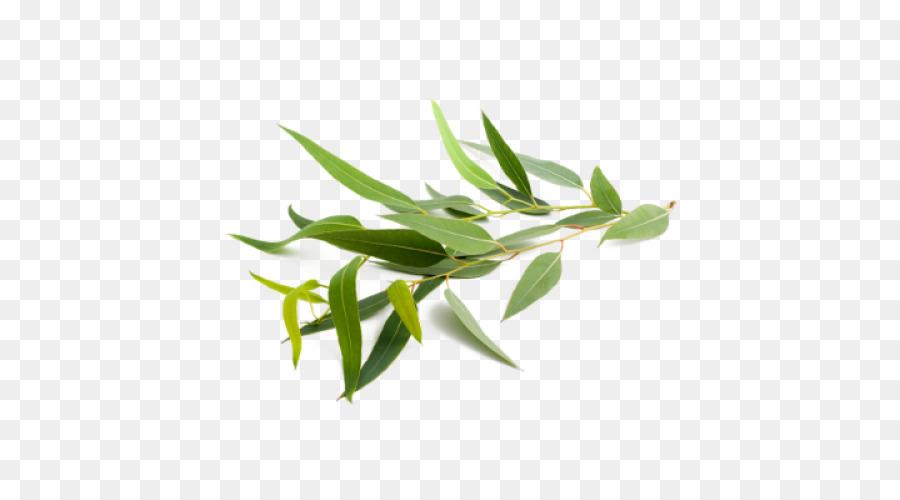 Descarga gratuita de Eucalyptus Globulus, Eucalipto Radiata, El Aceite De Eucalipto Imágen de Png