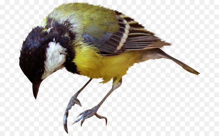 Descarga gratuita de Pájaro, Paseriformes, Gorrión imágenes PNG