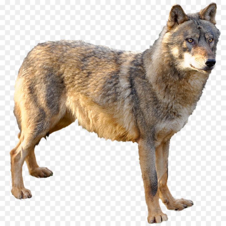 Descarga gratuita de Kunming Lobo, Perro Lobo Checoslovaco, Saarloos Lobo Imágen de Png