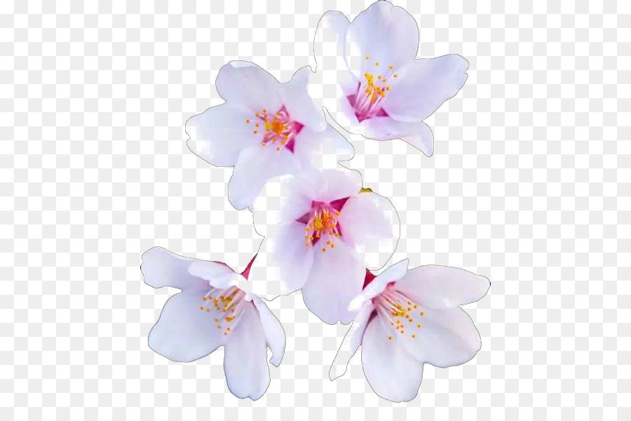 Descarga gratuita de Flor, De Los Cerezos En Flor, Papel Imágen de Png