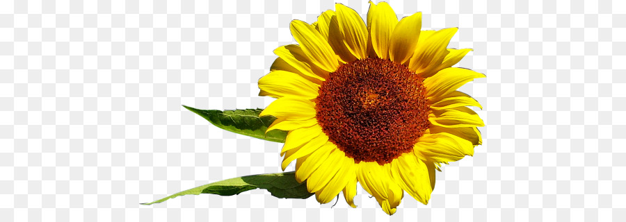 Descarga gratuita de Común De Girasol, Daisy Familia, La Semilla De Girasol imágenes PNG