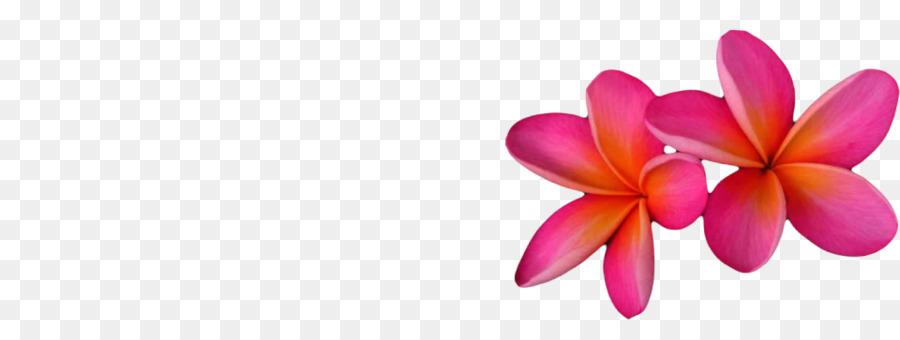 Descarga gratuita de Frangipani, La Polilla De Las Orquídeas, Las Flores Cortadas Imágen de Png