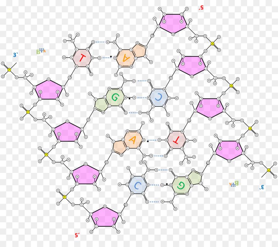 Adn La Estructura De Los ácidos Nucleicos El ácido