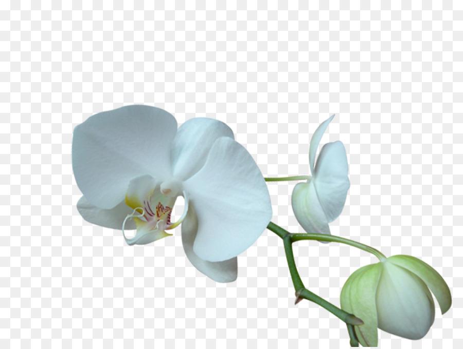 Descarga gratuita de La Polilla De Las Orquídeas, Blog, Las Orquídeas Imágen de Png