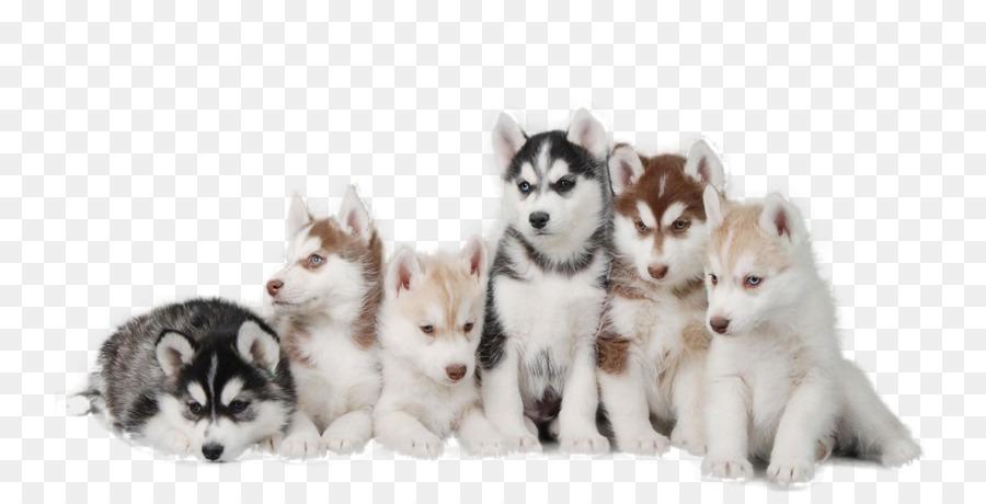 Descarga gratuita de Husky Siberiano, Cachorro, Pomerania Imágen de Png