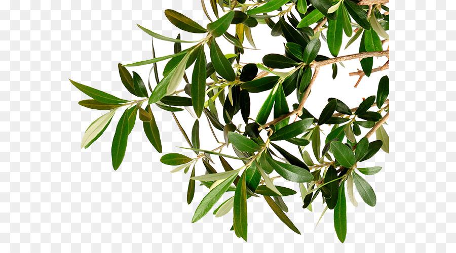 Descarga gratuita de Rama, Kalamata, árbol imágenes PNG
