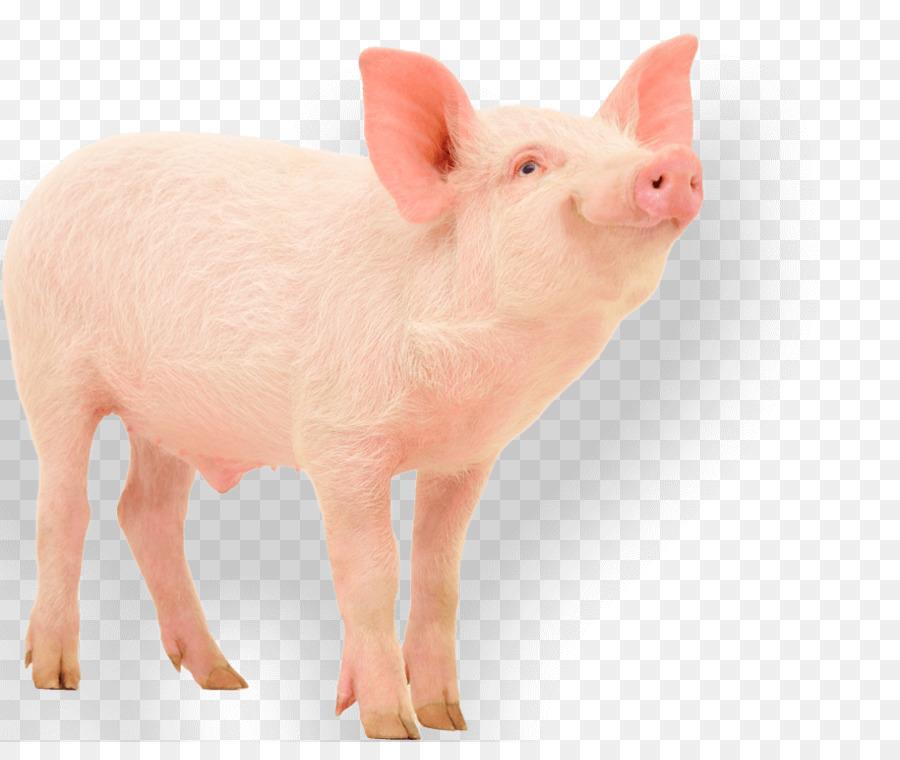 Descarga gratuita de Cerdo Doméstico, Cerdo, La Fotografía Imágen de Png