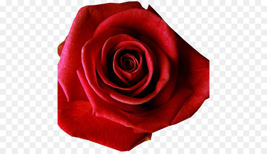 Descarga gratuita de Flor, Rojo, Rosa Beach imágenes PNG