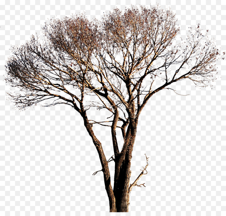 Descarga gratuita de árbol, álamo Blanco, Iconos De Equipo Imágen de Png