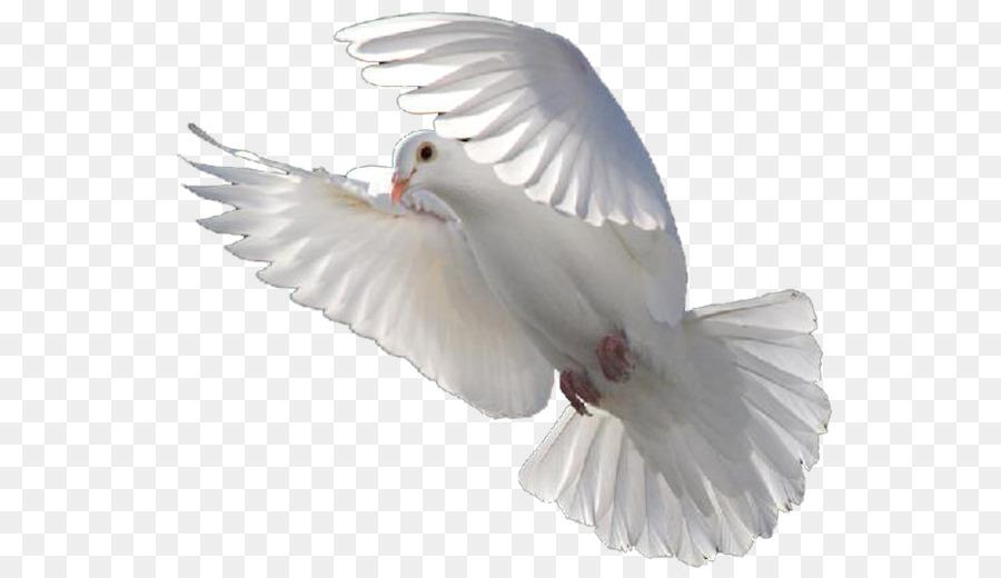 Descarga gratuita de Columbidae, Pájaro, La Liberación De La Paloma imágenes PNG