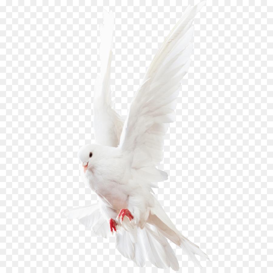 Descarga gratuita de Columbidae, Homing Pigeon, Pichón Imágen de Png