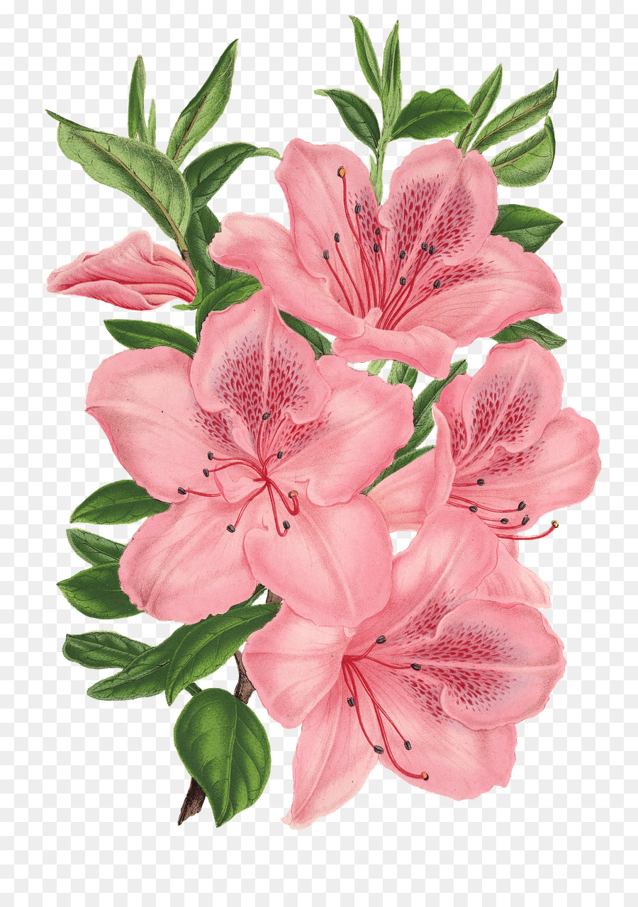 Descarga gratuita de Rosa Montón, Dibujo, Flores De Color Rosa imágenes PNG