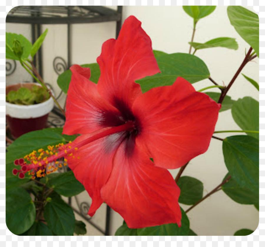 Descarga gratuita de Shoeblackplant, Arbusto, Planta Anual Imágen de Png