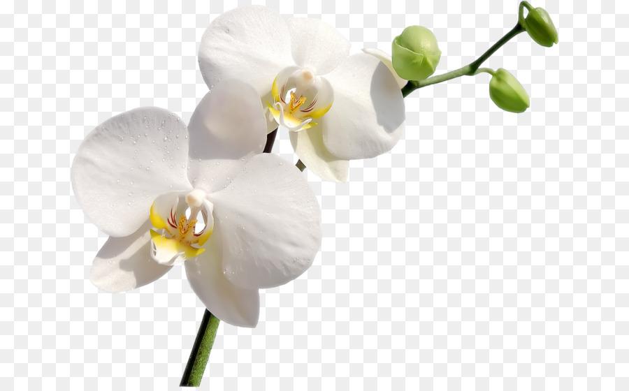 Descarga gratuita de Las Orquídeas, Flor, Ciceksepeticom imágenes PNG