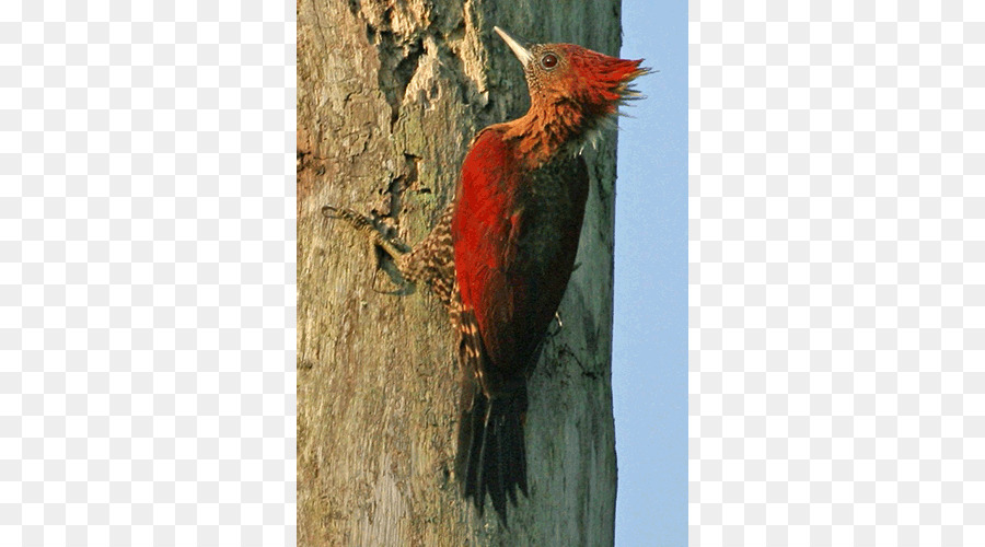 Descarga gratuita de Carpintero, La Fauna, Pico imágenes PNG