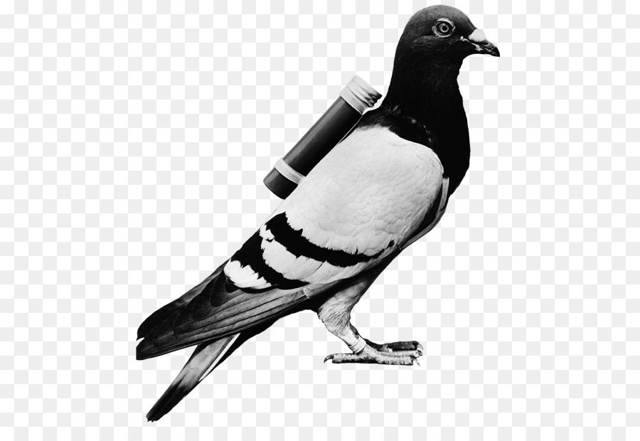 Descarga gratuita de Homing Pigeon, Inglés Paloma Mensajera, Carreras De Homero Imágen de Png