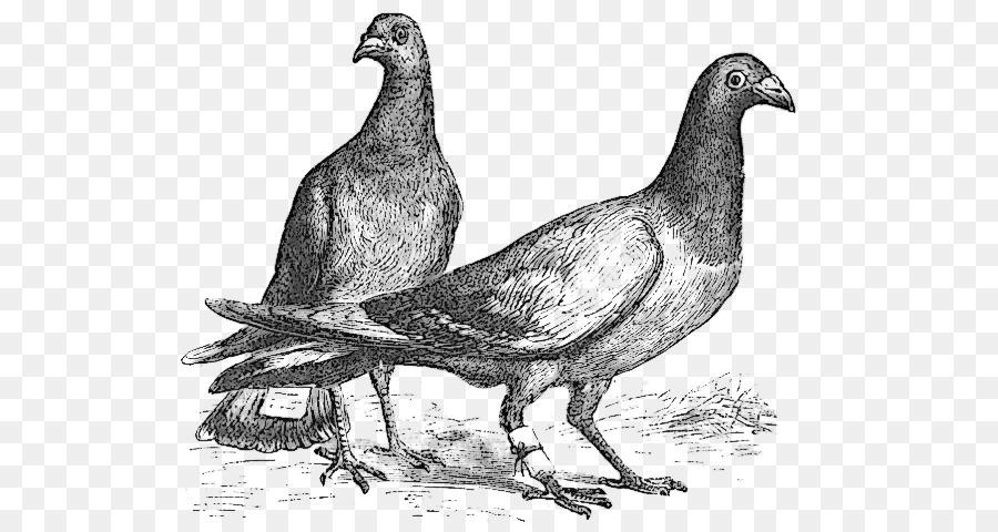 Descarga gratuita de Paloma Mensajera, El Molinete De La Paloma, Aves Imágen de Png