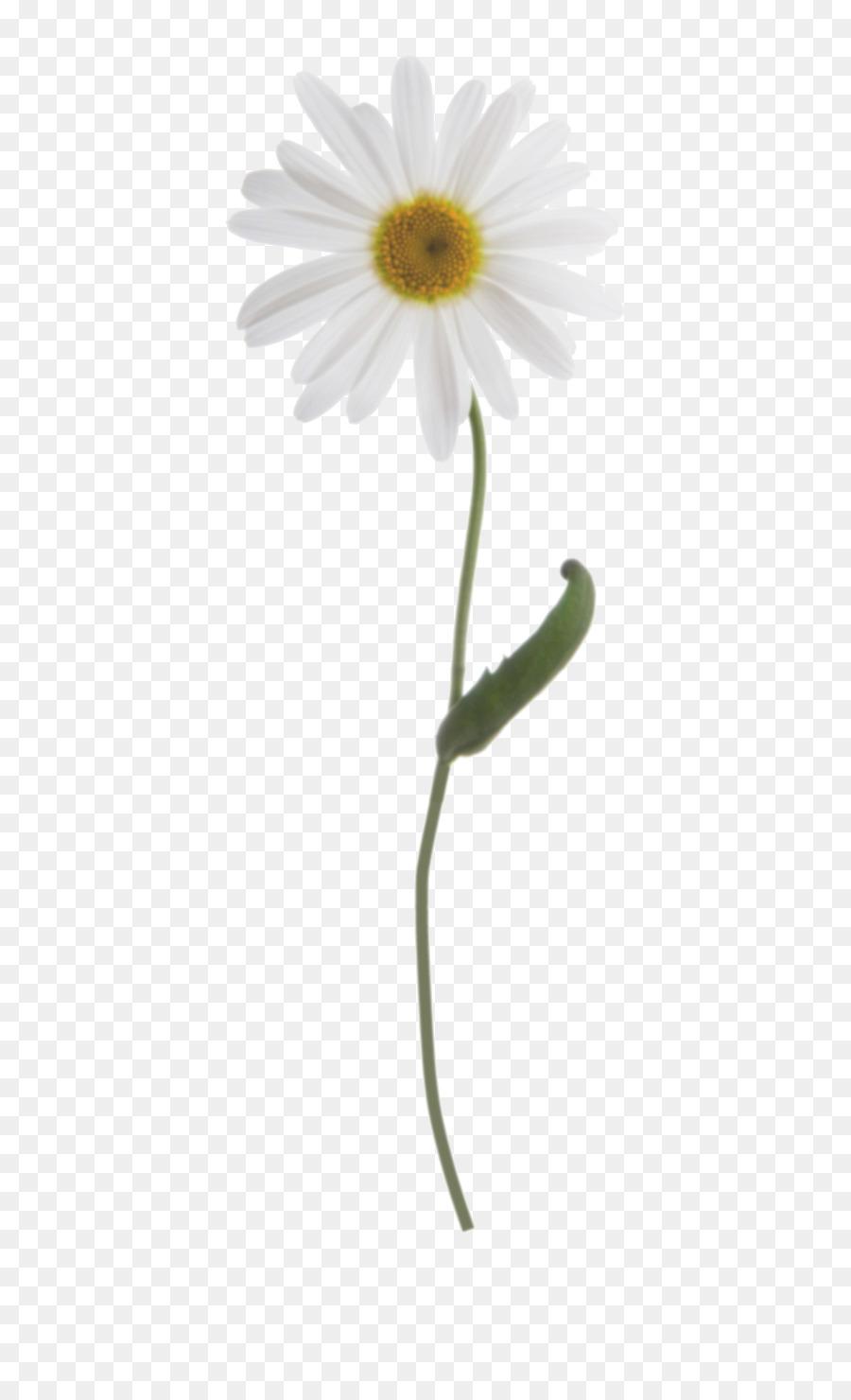 Descarga gratuita de Común Daisy, Margarita, Tallo De La Planta imágenes PNG