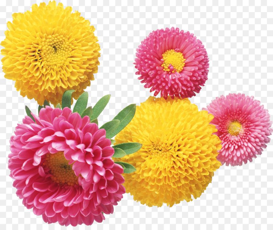 Descarga gratuita de Flor, Crisantemo, Aster imágenes PNG