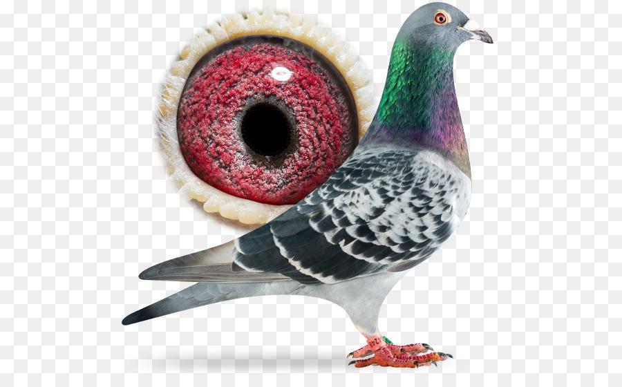 Descarga gratuita de Carreras De Homero, Columbidae, Homing Pigeon Imágen de Png