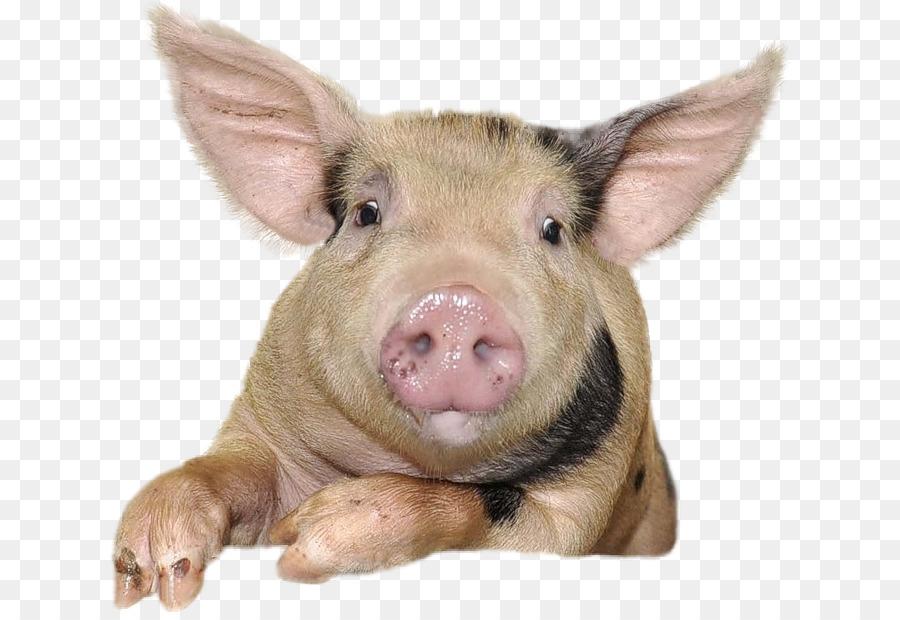 Descarga gratuita de Cerdo Doméstico, Cerdo, Suidae Imágen de Png