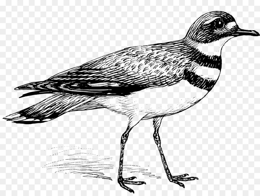 Pájaro Libro Para Colorear Penguin Imagen Png Imagen
