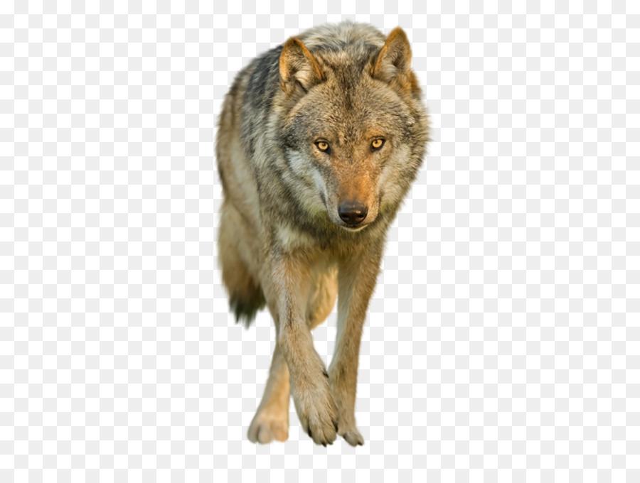 Descarga gratuita de Coyote, Saarloos Lobo, Fondo De Escritorio imágenes PNG