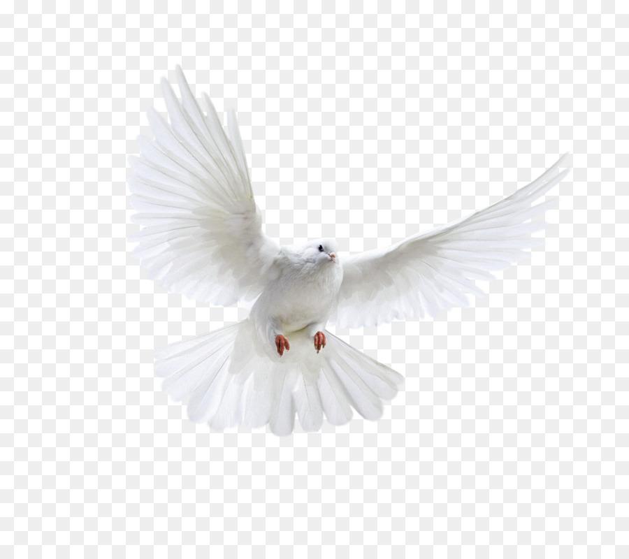 Descarga gratuita de Columbidae, Paloma Nacional, Pájaro Imágen de Png