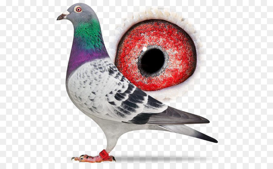 Descarga gratuita de Columbidae, Paloma Mensajera, Carreras De Homero Imágen de Png
