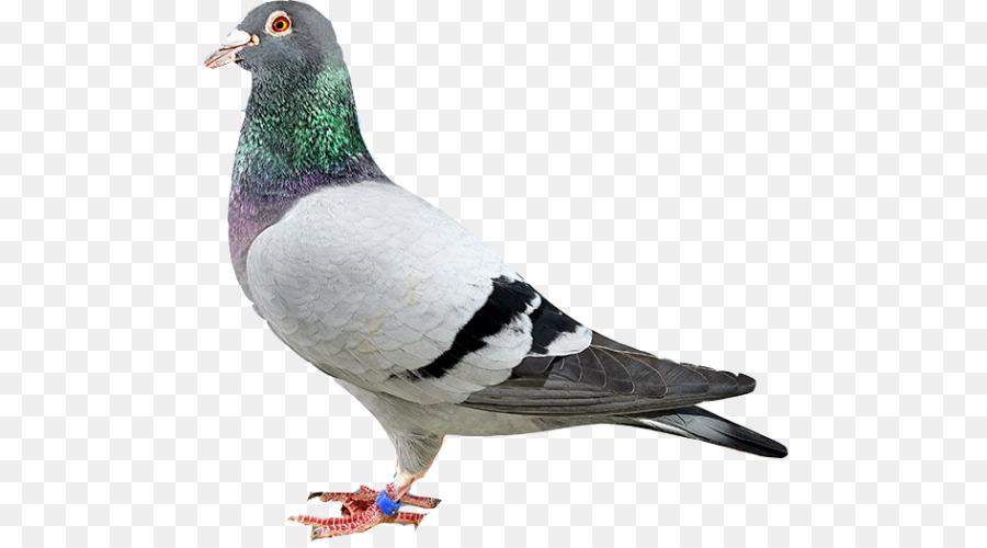Descarga gratuita de Homing Pigeon, Rock Dove, Columbidae Imágen de Png