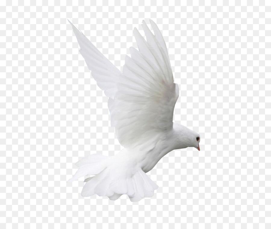 Descarga gratuita de Columbidae, Pico, Pájaro Imágen de Png